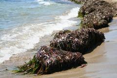 Smaltimento biomasse vegetali spiaggate, il problema arriva nelle commissioni regionali