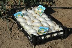 Cipolla bianca Igp, nel 2018 certificati oltre 22mila quintali