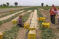 Cipolla bianca igp, iniziata la raccolta negli arenili