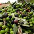Forte preoccupazione tra gli olivicoltori per l'andamento della raccolta