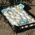 Festa della Cipolla Bianca di Margherita Igp, domani la conferenza stampa a Bari