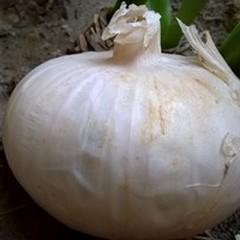 Cipolla bianca di Margherita, al via la raccolta