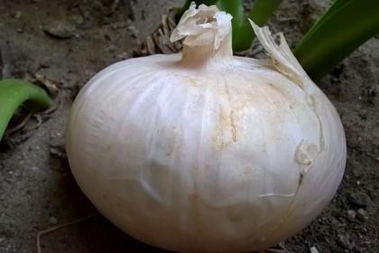 Cipolla bianca di Margherita di Savoia