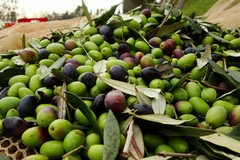 """Crisi olivicoltura, Fratelli d'Italia: """"Colpa eccessiva e incontrollata importazione di olio dall'estero"""""""