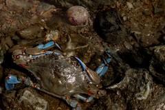 Avvistato granchio blu nel fiume Ofanto, IFAE: «In pericolo la biodiversità»