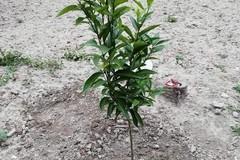 Un albero piantato in memoria di suo figlio Vicenzo