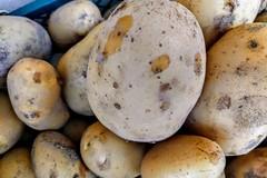 La patata pasta gialla di Margherita di Savoia regina del mercato inglese