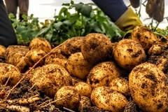 La crisi di produzione della patata pasta gialla