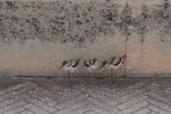 Tre pulli di Avocetta salvati mentre attraversavano la strada