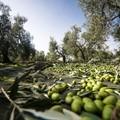 Crolla il prezzo delle olive italiane mentre i magazzini sono pieni di olio estero