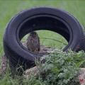 Natura e rifiuti: Gheppio trova riparo dentro uno pneumatico abbandonato
