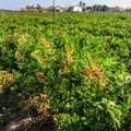 Allarme siccità nei campi di Margherita di Savoia