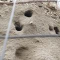 La natura si riprende i suoi spazi: nidi di Gruccione nelle dune di sabbia a zona Orno